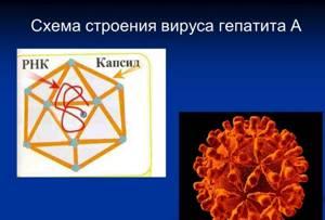 Гепатит А: этапы развития вирусного заболевания и первые признаки, методы лечения и последствия для организма человека