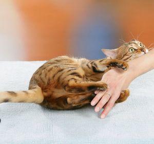 Болезнь кошачьих царапин: провоцирующие факторы, характерные симптомы, диагностика и лечение