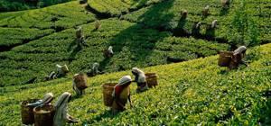 Польза и вред зеленого чая для здоровья: содержание витаминов и минералов, норма употребления и правила заваривания