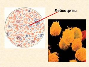 Лейкоциты в крови у женщин: стандарты нормы, возможные изменения, виды обследований, проведение анализа