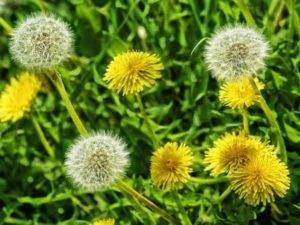 Одуванчик лекарственный: целебные свойства и противопоказания